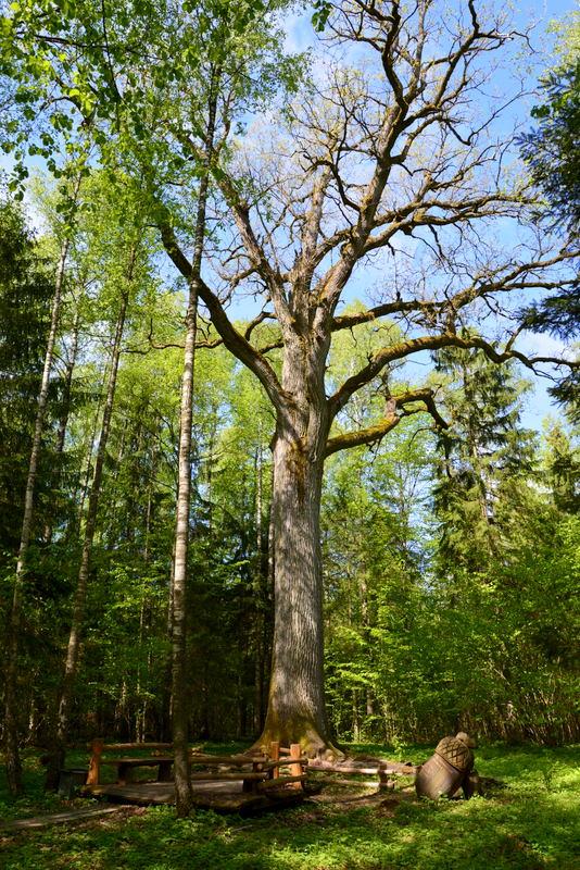4.Gražusis ąžuolas. Dubysos regioninio parko direkcijos nuotr.